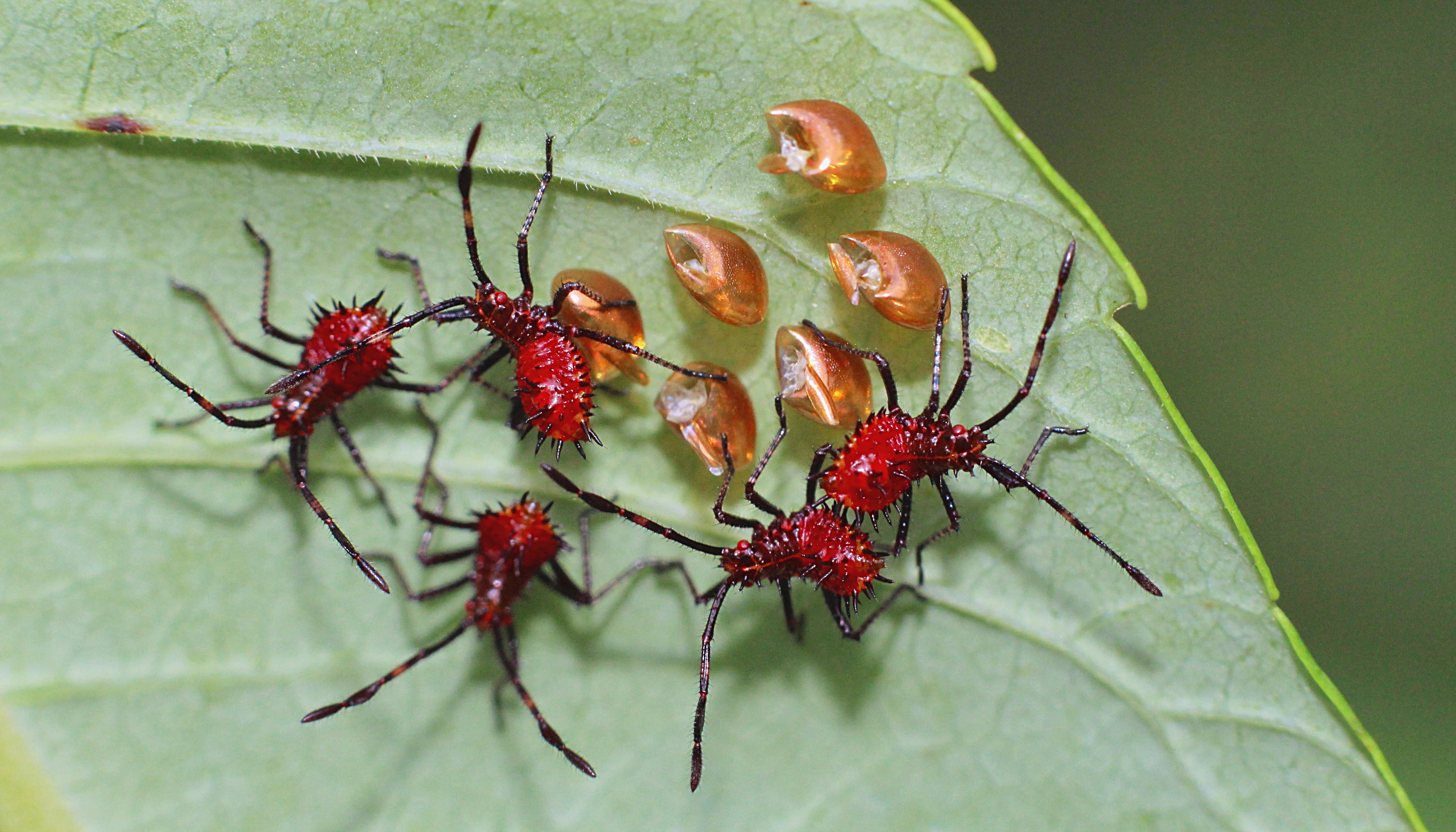 4.Hatching Leaf footed bugs « Why Evolution Is True