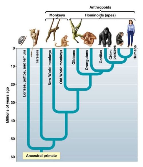 Wrongheaded anthropologist claims that humans aren't apes ...