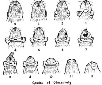 Grades of otocephaly in guinea pigs (from Wright, 1935).