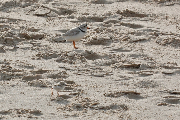 pipingplover1