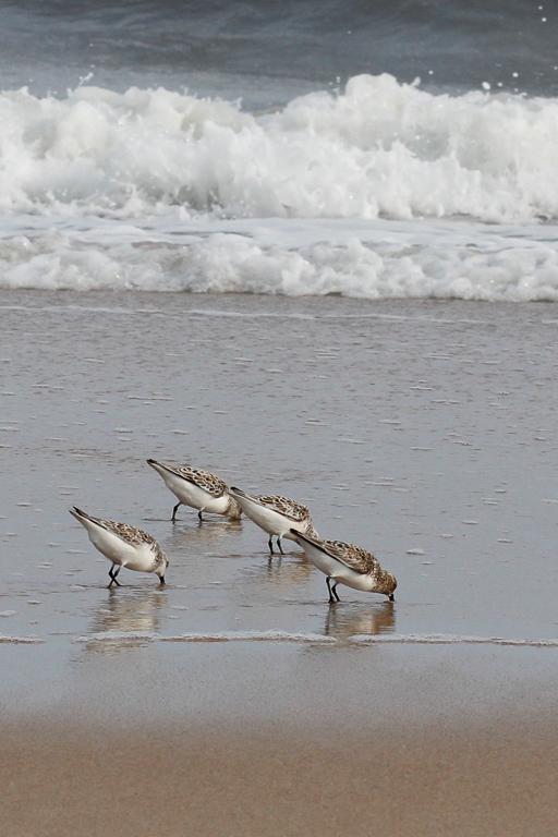 sanderling1