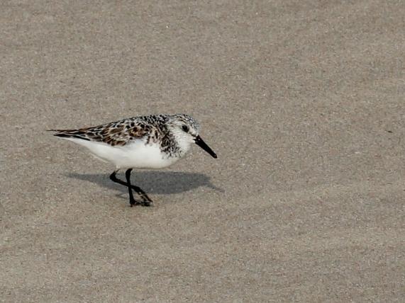 sanderling2