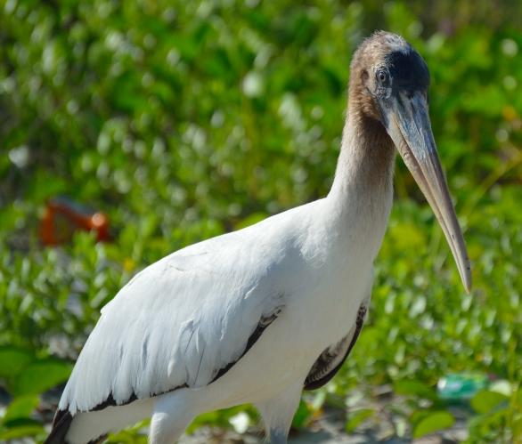 Wood Stork 3