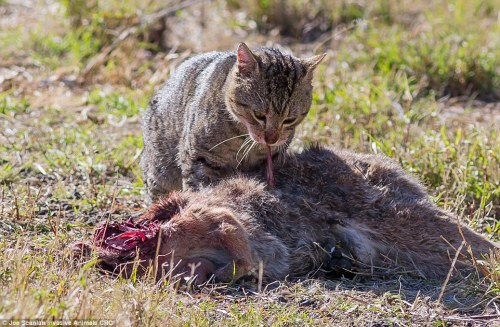 A feral cat in Queensland, eating a road killed kangaroo, by Joe Scanlan via the Daily Mail.