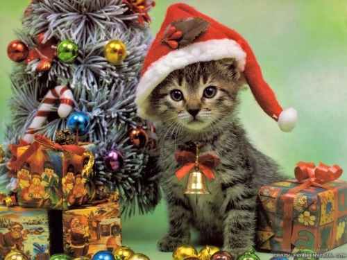 Cat Christmas.Reminder Send In Your Christmas Cats Why Evolution Is True