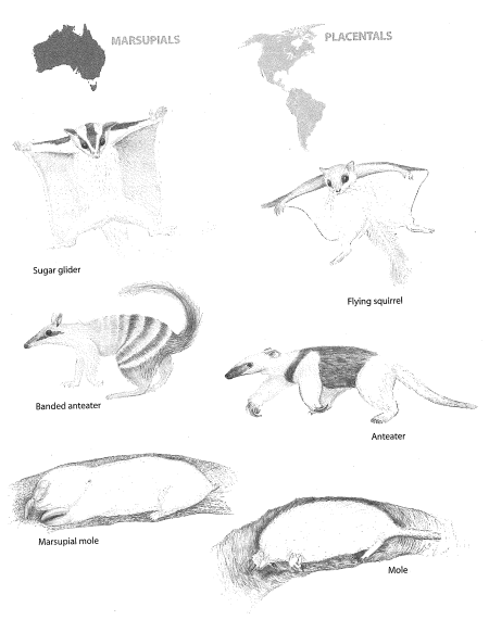 Adaptive radiation and convergence in Australian marsupials (Fig. 20 from WEIT © Kapi Monoyios).