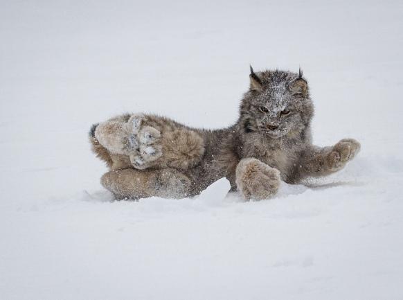 01-canadian-lynx-paws-cute