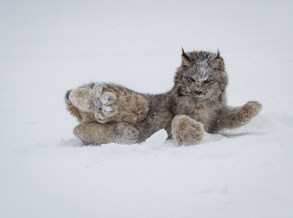 01-canadian-lynx-paws-cute