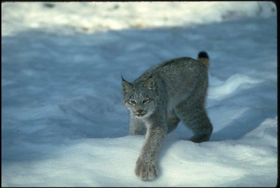 07-canadian-lynx-paws-cute