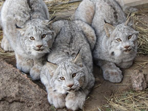 11-canadian-lynx-paws-cute
