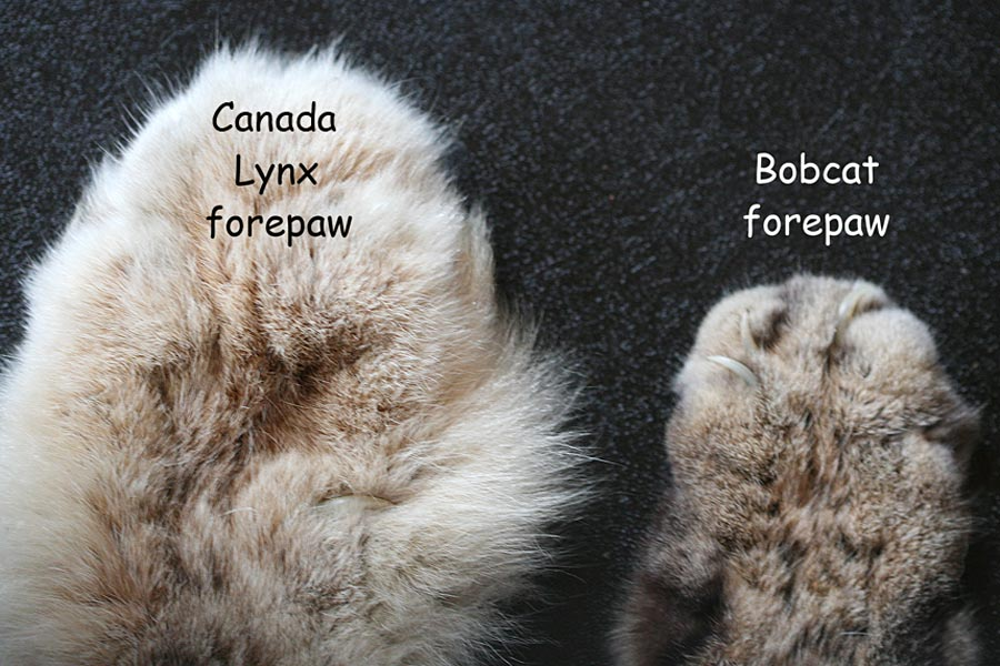 The enormous paws of the Canadian lynx   Why Evolution Is True