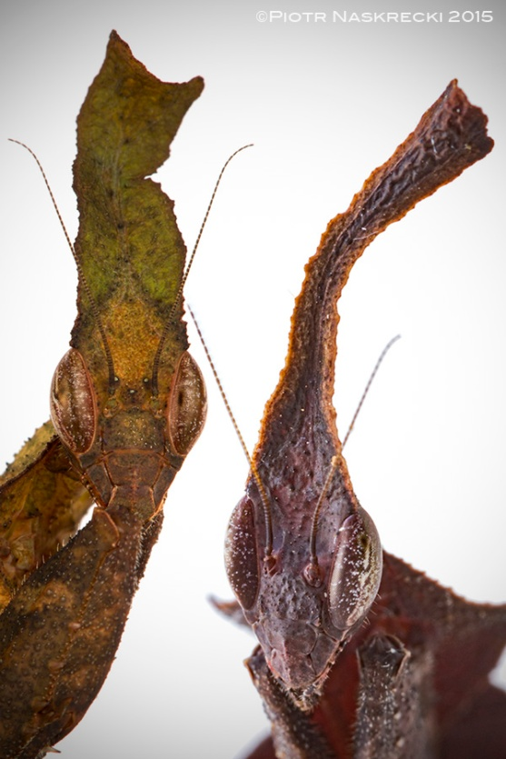 phyllocrania11