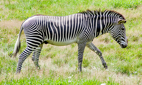 Why zebras have stripes (hint: it's not for camouflage) « Why