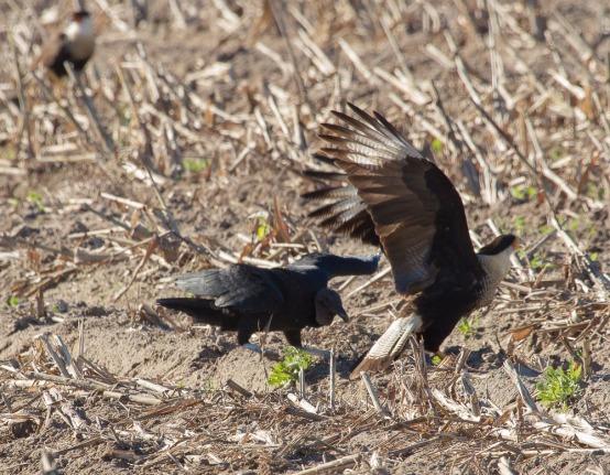 02_016-01-09_Vulture_vs_Caracara
