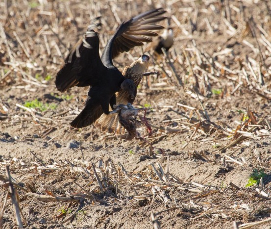 03_2016-01-09_Vulture_vs_Caracara