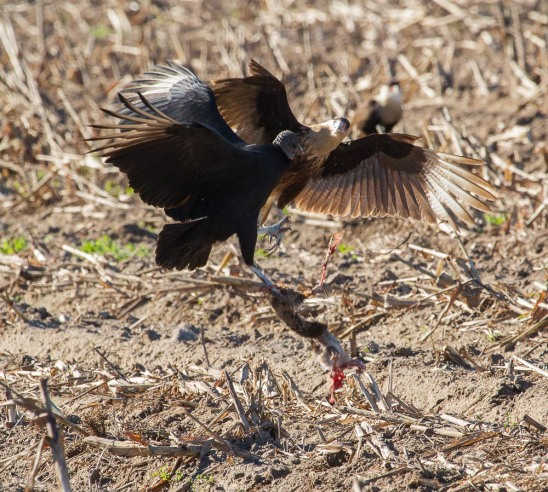 04_2016-01-09_Vulture_vs_Caracara