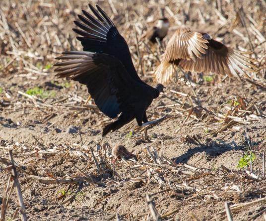 06_2016-01-09_Vulture_vs_Caracara