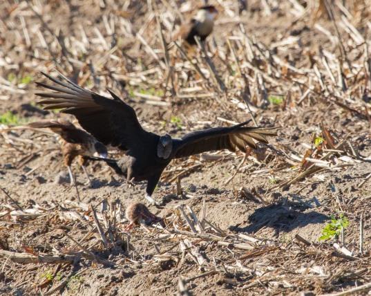 07_2016-01-09_Vulture_vs_Caracara