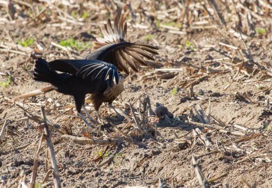 09_2016-01-09_Vulture_vs_Caracara