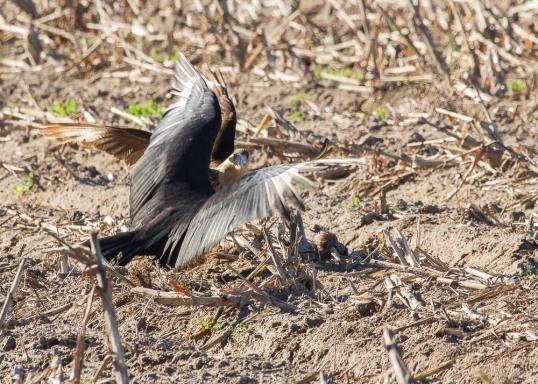 10_2016-01-09_Vulture_vs_Caracara