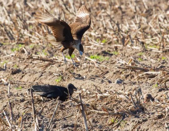13_2016-01-09_Vulture_vs_Caracara