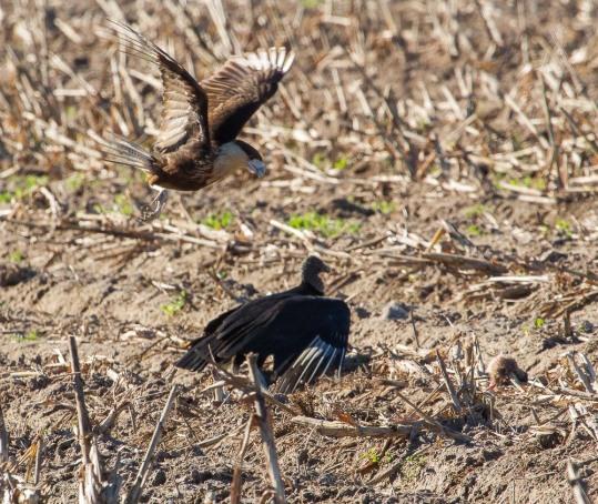 15_2016-01-09_Vulture_vs_Caracara