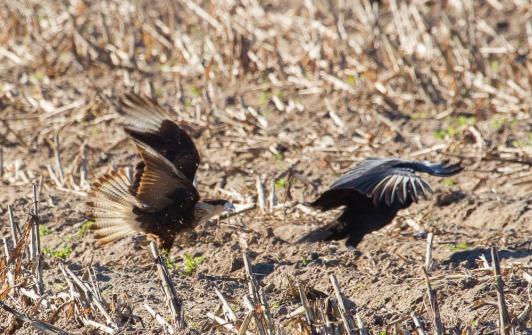 16_2016-01-09_Vulture_vs_Caracara