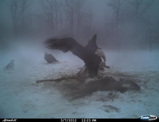 eagle12