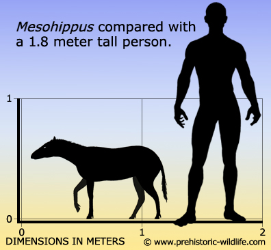 mesohippus-size