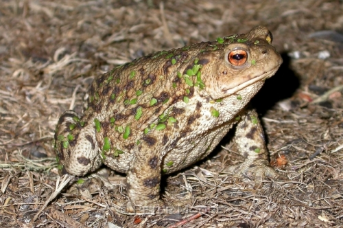 Common Toad (Bufo bufo), Broomscroft, Kent. Photo by Peter K. Moore. http://www.petermoorewildlifephotography.co.uk/Peter%20K%20Moore%20Wildlife%20Photography/index.html