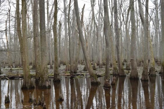Bald cypress and water tupelo (Nyssa aquatica) in Little Black Slough, alongside Tupelo Trail, Cache River State Natural Area, Illinois, USA, March 23, 2016
