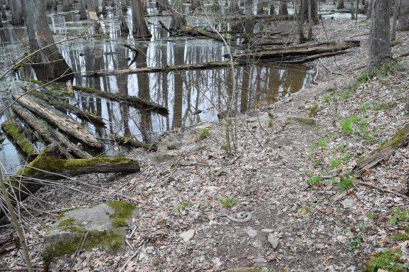 A western cottonmouth (Agkistrodon piscivorus leucostoma) on Tupelo Trail, Cache River State Natural Area, Illinois, USA, March 23, 2016.