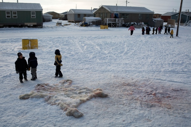 ARVIAT, CANADA - NOVEMBER 1 Schoolchildren investigate a polar bear pelt lying in the snow in Arviat, Canada on Nov. 1, 2013. Polar bear hunting in Nunavut works on a lottery tag system for eligible Inuit hunters. This year Arviat has ten polar bear tags allotted for approximately 1500 eligible hunters. Ten names are randomly drawn out of a box; the chosen have 48 hours to successfully kill a polar bear – if not, their tag goes to another hunter. The annual polar bear draw is one of the highlights of the hunting season, where everyone in the community crosses their fingers and hopes to be one of the 'lucky ones' to get a polar bear tag. After the tags are drawn, those chosen embark on their hunt immediately, racing against the clock to find and shoot a polar bear before their 48-hour deadline is up. The polar bear hunt follows very strict rules – female polar bears with cubs, cubs, and males under a certain size cannot be shot. If a polar bear was killed in self-defense at any time that year, the kill is subtracted from the number of tags allotted to the community. Many hunters bristle at the 'limited' number of tags given out each year. They feel that ten is not enough, given the amount of contact that Arviat has with polar bears every year. Waiting for the sea to freeze over so they can go out on the ice to hunt seals, polar bears generally migrate north along the Hudson Bay coast from late summer to early November. The sea usually freezes in early November, but due to a change in climate over the last few decades, the water freezes much later in the year, and less ice has been forming. It is becoming more difficult for polar bears to reach their prime hunting spots on the ice. As a result, famished polar bears searching for food make their way into human settlements like Arviat. They now regularly show up at the town dump, scavenging through the hamlet's trash. In the fall and winter, there are almost daily sightings of polar bears wandering into the