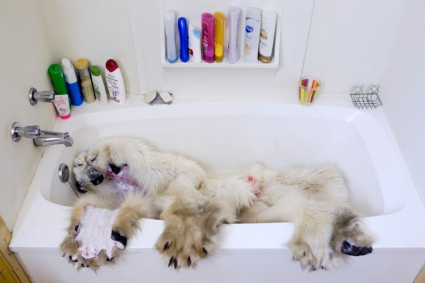 ARVIAT, CANADA - NOVEMBER 4 The frozen pelt of a polar bear, shot days earlier, thaws in a bathtub in Arviat, Canada on Nov. 4, 2013. A single polar bear pelt can sell for over ten thousand dollars – economic salvation for many impoverished Inuit families. Listing the polar bear as a threatened species, the United States and many environmental groups have pushed for a global ban on the commercial trade of their fur, meat, and body parts. The Canadian government opposes this, on behalf of the Inuit. The current debate highlights the clash between traditional hunting practices and modern conservation science. (Ed Ou/Reportage by Getty Images)