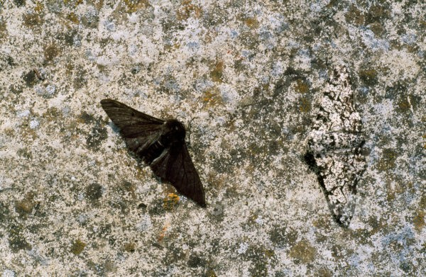 Natural Selection Example Peppered Moth