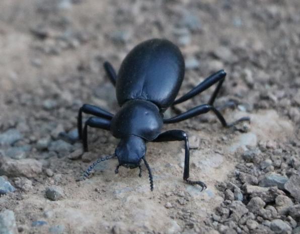 darkling_beetle_w960px