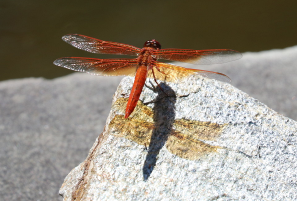 dragonfly_w960px