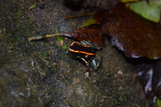 Poison Dart Frog (Phyllobates vittatus), Lapa Rios Ecolodge, Osa, Costa Rica