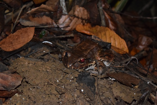 Smoky Jungle Frog (Leptodactlyus pentadactylus), Lapa Rios Ecolodge, Osa, Costa Rica