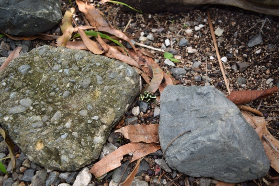 Poison Dart Frog (Dendrobates auratus), Lapa Rios Ecolodge, Osa, Costa Rica
