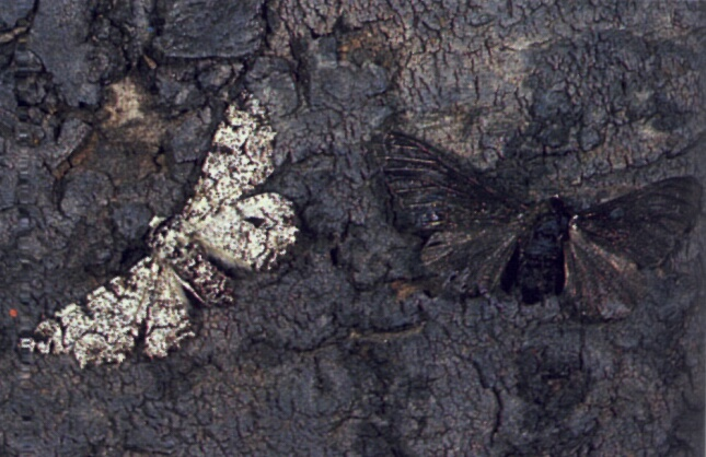 Peppered Moths Natural Selection Example