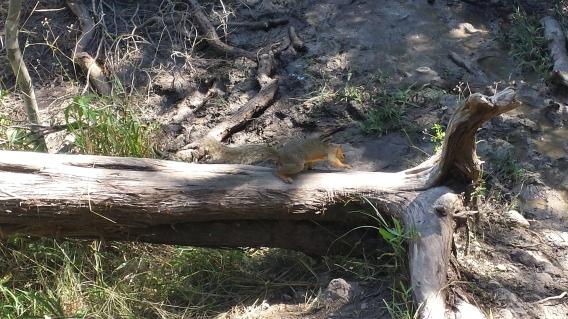 Eastern gray squirrel at Pedernales Falls State Park, Johnson City, Texas, 17 June 2016