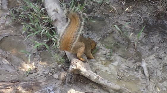 Eastern gray squirrel at Pedernales Falls State Park, Johnson City, Texas, 17 June 2016.