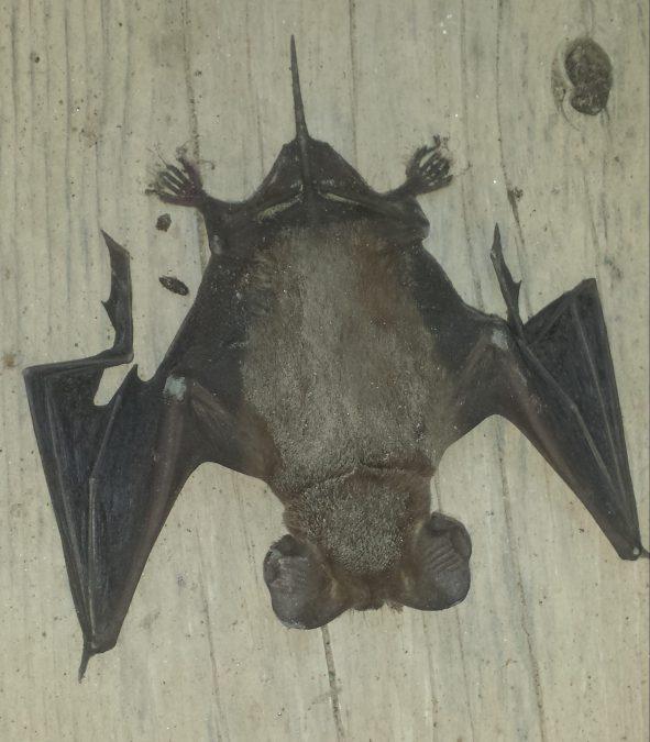 Mexican free-tailed bat, Austin, Texas, 21 June 2016.