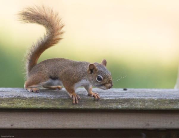 American Red Squirrel %28Tamiasciurus hudsonicus%29 Pauses Before Leap