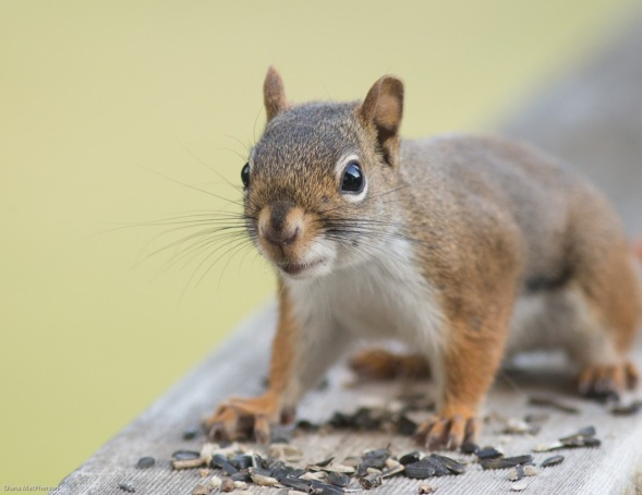 American Red Squirrel %28Tamiasciurus hudsonicus%29 Poses on Deck
