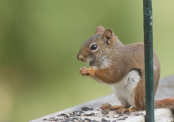 American Red Squirrel %28Tamiasciurus hudsonicus%29 Smiling