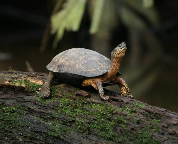 black_river_turtle