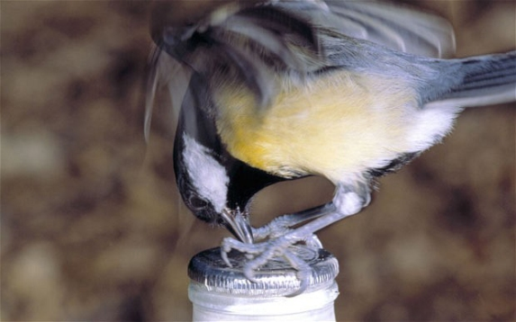 blue-tit-milk-bottle