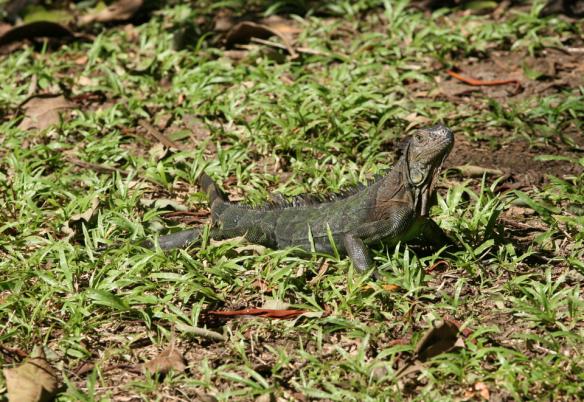 green_iguana_f